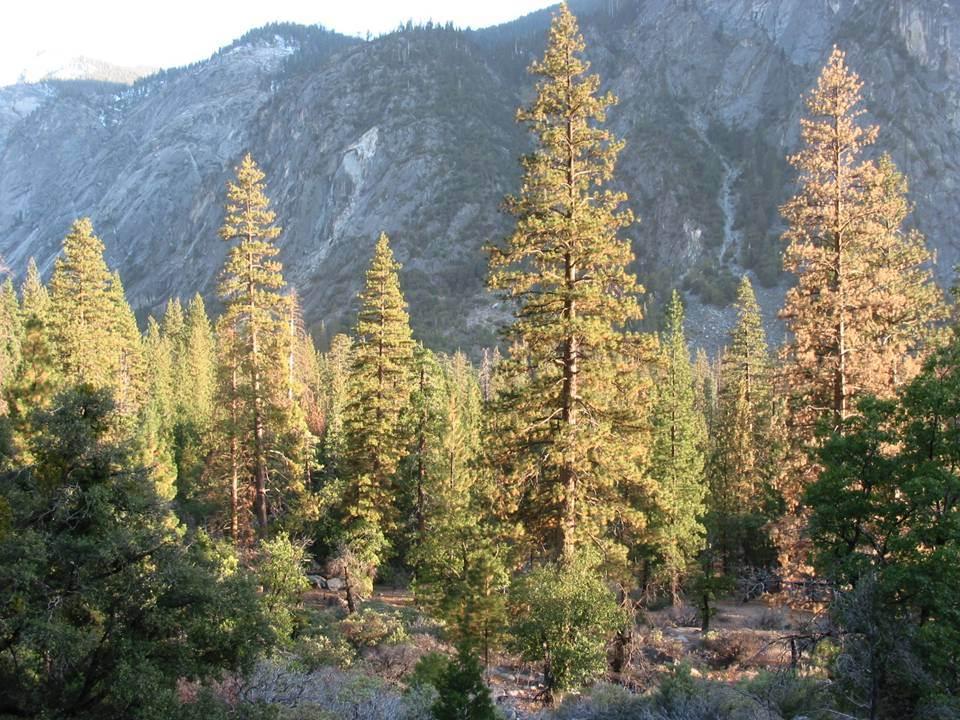 seki pines
